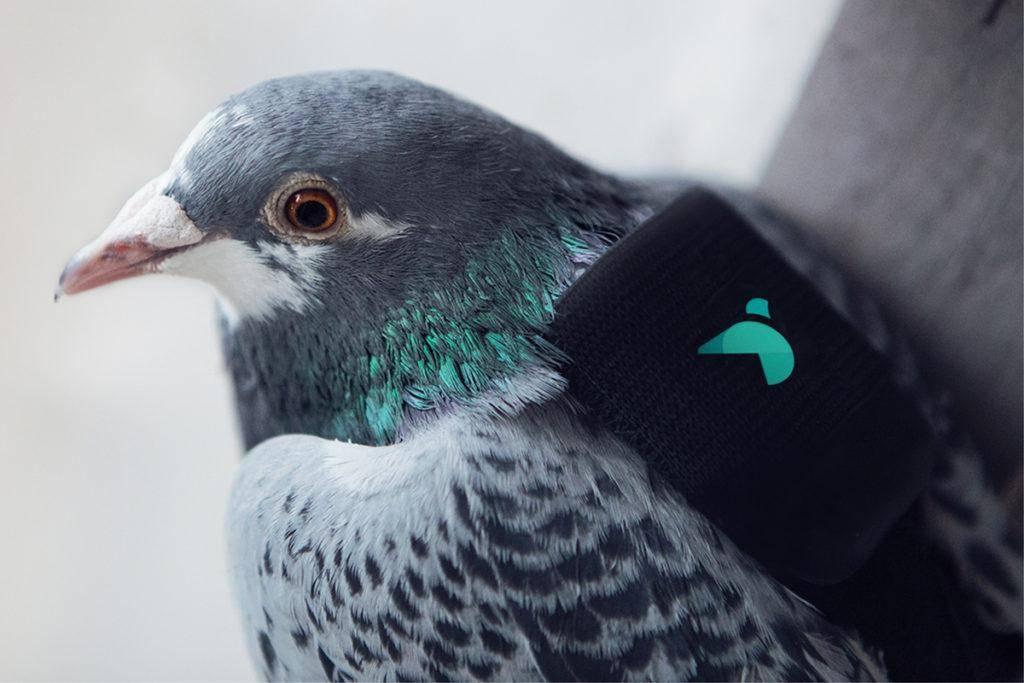 Лондонские голуби патрулируют город